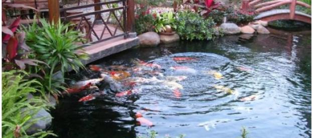 Các yếu tố thiết kế hồ cá Koi sân vườn đạt chuẩn